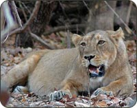 Lion at Sasan Gir, Gujrat